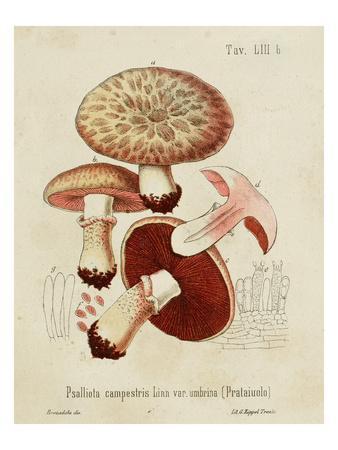 Mushroom Varieties II