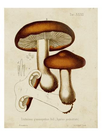 Mushroom Varieties VI