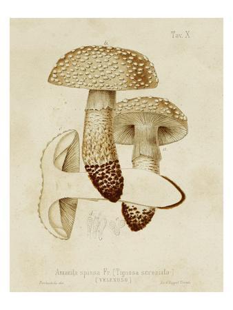 Mushroom Varieties VIII