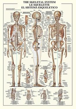 The Skeletal System by Unknown