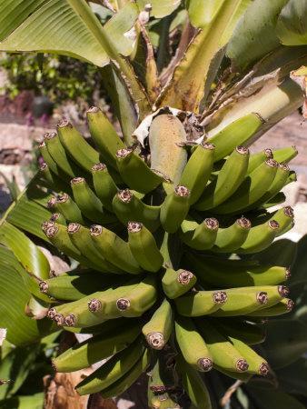 https://imgc.allpostersimages.com/img/posters/unripe-bananas-tenerife-canary-islands-spain-europe_u-L-P7X7P00.jpg?p=0