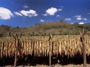 Tobacco Leaves Drying, Near Jocatan, Guatemala, Central America by Upperhall