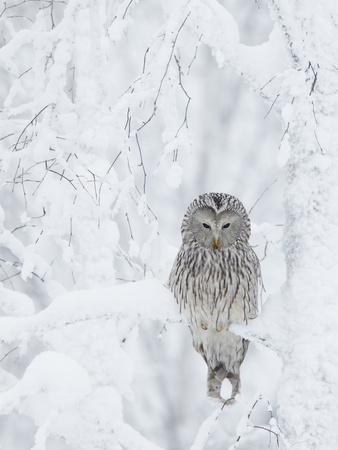 https://imgc.allpostersimages.com/img/posters/ural-owl-stix-uralensis-resting-in-snowy-tree-kuusamo-finland_u-L-Q10OH6U0.jpg?p=0
