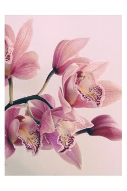 Pink Orchids by Urban Epiphany