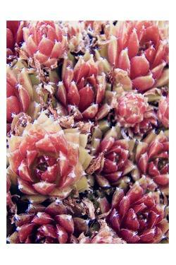 Red Succulents New Born 1 by Urban Epiphany