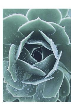 Succulent With Dew 1 by Urban Epiphany