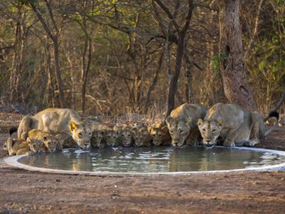 Asiatic Lionesses and Cubs Drinking from Pool, Gir Forest NP, Gujarat, India by Uri Golman