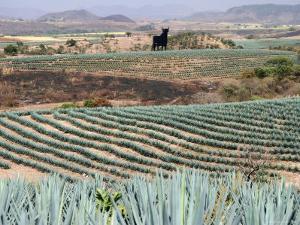 Agave Fields Near Guadalajara by Uros Ravbar