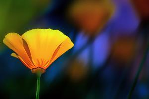 California Poppy 1 by Ursula Abresch