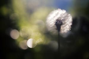 Dandelion by Ursula Abresch