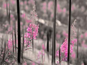 Fireweed by Ursula Abresch