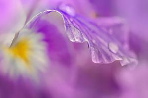 Iris Drop by Ursula Abresch