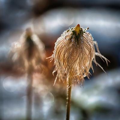 Pasque Flower Seeds in Snow by Ursula Abresch