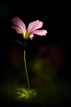 Pink Geranium by Ursula Abresch