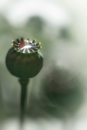 Poppy Seeds by Ursula Abresch