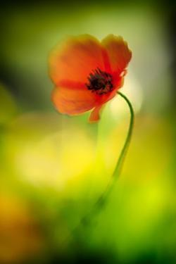 Poppy by Ursula Abresch