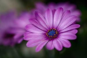 Purple Daisy by Ursula Abresch