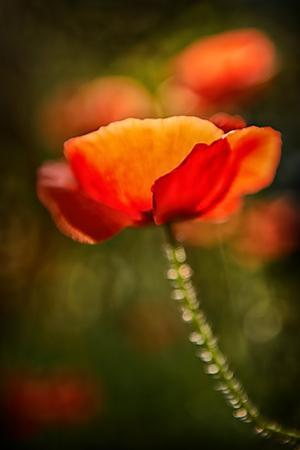 Red Poppy by Ursula Abresch