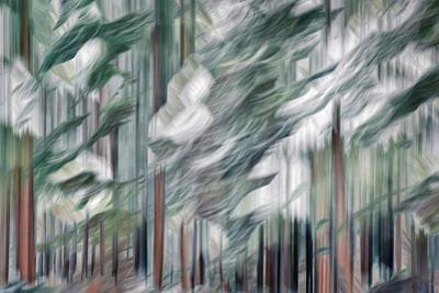 Snow on Cedars by Ursula Abresch