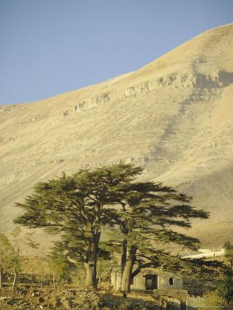 Cedars of Lebanon at the Foot of Mount Djebel Makhmal Near Bsharre, Lebanon, Middle East