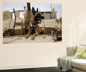 US Air Force Military Working Dog Sits on a US Army M2A3 Bradley Fighting Vehicle