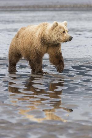 https://imgc.allpostersimages.com/img/posters/usa-alaska-a-female-grizzly-bear-walks-along-the-tidal-flats-lake-clark-national-park_u-L-Q1D05T20.jpg?p=0