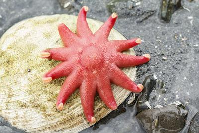 https://imgc.allpostersimages.com/img/posters/usa-alaska-a-red-sun-star-on-a-clam-shell-at-low-tide_u-L-Q1CZXDL0.jpg?p=0