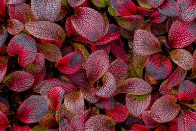 https://imgc.allpostersimages.com/img/posters/usa-alaska-alpine-bearberry-leaves-close-up_u-L-Q1CZTSC0.jpg?artPerspective=n