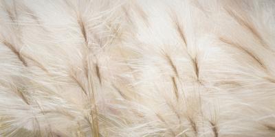 https://imgc.allpostersimages.com/img/posters/usa-alaska-arctic-abstract-of-foxtail-barley_u-L-Q1D03R10.jpg?p=0