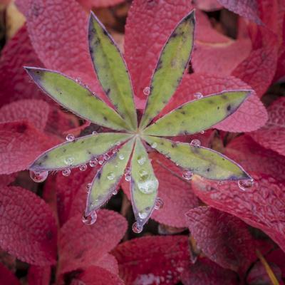 https://imgc.allpostersimages.com/img/posters/usa-alaska-brooks-range-lupine-and-alpine-bearberry-plants_u-L-Q1D09G30.jpg?p=0