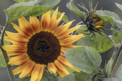 https://imgc.allpostersimages.com/img/posters/usa-alaska-chena-hot-springs-of-sunflower-plant_u-L-Q1CZSQ70.jpg?p=0