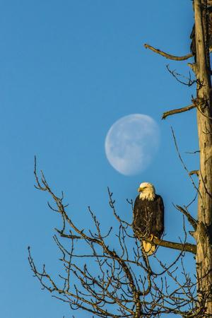 https://imgc.allpostersimages.com/img/posters/usa-alaska-chilkat-bald-eagle-preserve-bald-eagle-and-moon_u-L-Q1CZYSI0.jpg?p=0