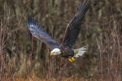 https://imgc.allpostersimages.com/img/posters/usa-alaska-chilkat-bald-eagle-preserve-bald-eagle-flying_u-L-Q1D01K70.jpg?artPerspective=n