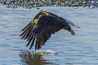 https://imgc.allpostersimages.com/img/posters/usa-alaska-chilkat-bald-eagle-preserve-bald-eagle-flying_u-L-Q1D02XM0.jpg?p=0