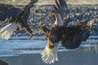 https://imgc.allpostersimages.com/img/posters/usa-alaska-chilkat-bald-eagle-preserve-bald-eagle-flying_u-L-Q1D036P0.jpg?p=0
