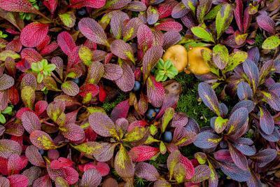 https://imgc.allpostersimages.com/img/posters/usa-alaska-dalton-highway-alpine-bearberry-and-crowberry_u-L-Q1D05UT0.jpg?p=0