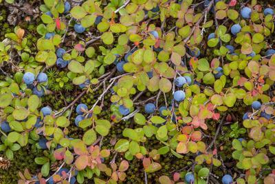 https://imgc.allpostersimages.com/img/posters/usa-alaska-dalton-highway-of-blueberries_u-L-Q1CZUJ00.jpg?p=0