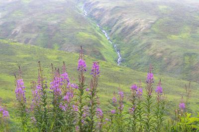 https://imgc.allpostersimages.com/img/posters/usa-alaska-fireweed-and-upper-willow-creek_u-L-Q1D00UU0.jpg?p=0