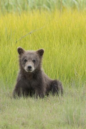 https://imgc.allpostersimages.com/img/posters/usa-alaska-grizzly-bear-cub-sits-in-a-meadow-in-lake-clark-national-park_u-L-Q1D05KG0.jpg?p=0