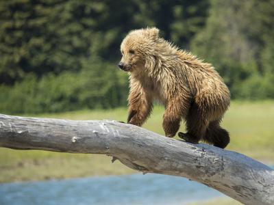 https://imgc.allpostersimages.com/img/posters/usa-alaska-grizzly-bear-cub_u-L-Q1D0CLC0.jpg?p=0