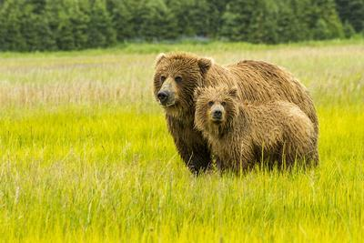 https://imgc.allpostersimages.com/img/posters/usa-alaska-grizzly-bear-with-cub_u-L-Q1D09ZD0.jpg?artPerspective=n