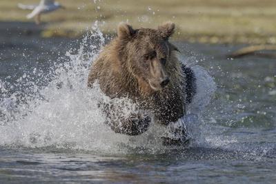 https://imgc.allpostersimages.com/img/posters/usa-alaska-katmai-national-park-grizzly-bear-chasing-salmon_u-L-Q1D05K90.jpg?p=0