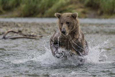 https://imgc.allpostersimages.com/img/posters/usa-alaska-katmai-national-park-grizzly-bear-chasing-salmon_u-L-Q1D05Y80.jpg?p=0