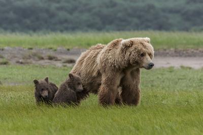 https://imgc.allpostersimages.com/img/posters/usa-alaska-katmai-national-park-hallo-bay-coastal-brown-bear-with-twins_u-L-Q1CZXS00.jpg?p=0