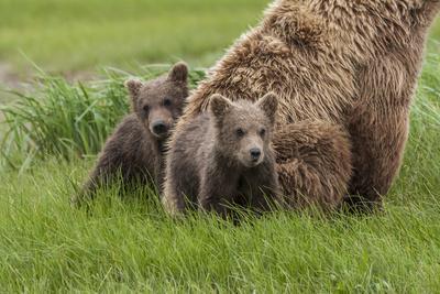 https://imgc.allpostersimages.com/img/posters/usa-alaska-katmai-national-park-hallo-bay-coastal-brown-bear-with-twins_u-L-Q1D03CZ0.jpg?p=0