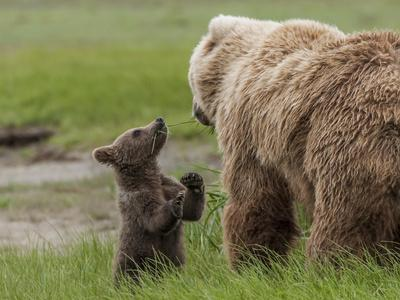 https://imgc.allpostersimages.com/img/posters/usa-alaska-katmai-national-park-hallo-bay-coastal-brown-bear-with-twins_u-L-Q1D03HB0.jpg?artPerspective=n