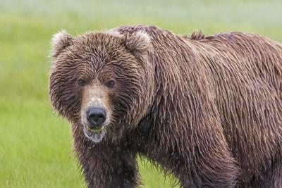 https://imgc.allpostersimages.com/img/posters/usa-alaska-katmai-national-park-hallo-bay-coastal-brown-bear_u-L-Q1CZX6U0.jpg?p=0