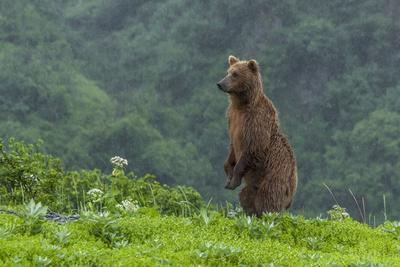 https://imgc.allpostersimages.com/img/posters/usa-alaska-katmai-national-park-hallo-bay-coastal-brown-bear_u-L-Q1D02DB0.jpg?p=0