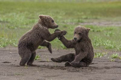 https://imgc.allpostersimages.com/img/posters/usa-alaska-katmai-national-park-hallo-bay-coastal-brown-twins-playing_u-L-Q1CZXK70.jpg?p=0