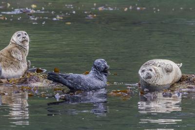 https://imgc.allpostersimages.com/img/posters/usa-alaska-katmai-national-park-harbor-seal-resting-on-seaweed_u-L-Q1D07XF0.jpg?artPerspective=n